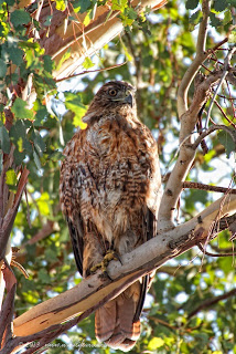 Red tail hawk resting in tree