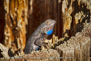 fence lizard sitting on a post